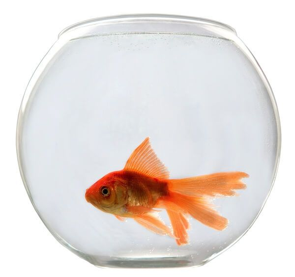 How to care for goldfish bowl.