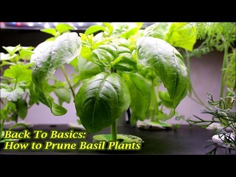 Back To Basics: How to Prune Basil Plants - he does higher up, but removes leaves and prunes 3rd week