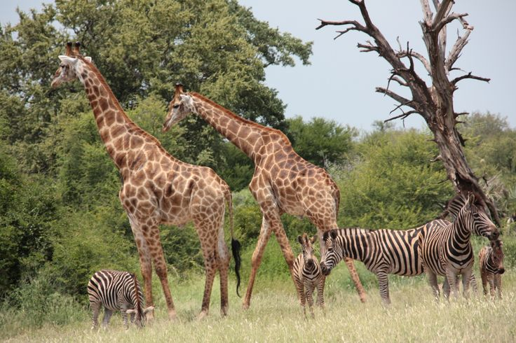 Zebra and Giraffe | Wildlife | Zandspruit Estate | South Africa