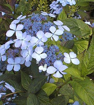 Hydrangea serrata 'Blue Bird' // Uncanoonuc Mt. Perennials sells this cultivar.