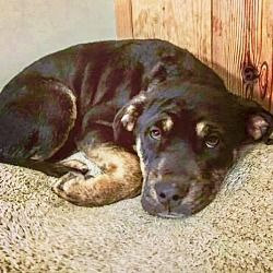 Pictures of TINKERBELL a Rottweiler for adoption in Springfield, MA who needs a loving home.