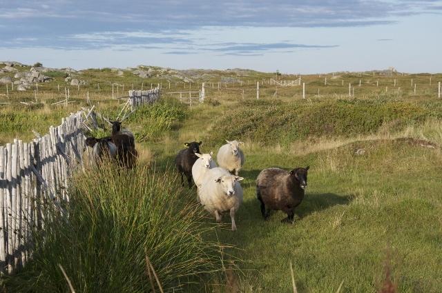 Sheep grazing the fields of Fogo Island  #newfoundland #travel #animals