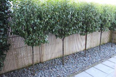 Port wine magnolia standards as hedge
