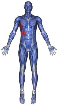 Rib pain caused by the intercostal muscles. Repinned by http://www.cspaboston.com/