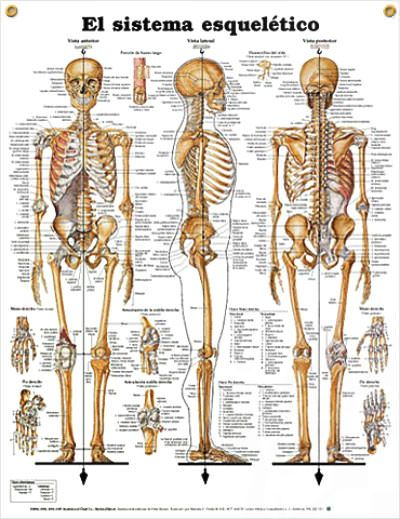 Skeletal: El sistema esqueletico SPANISH (español) anatomy poster shows anterior, lateral and posterior views of the skeletal system. Skeletal system chart for doctors and nurses.