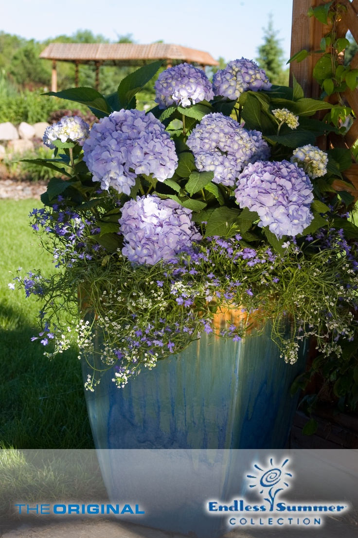 25 best images about hydrangeas in containers on pinterest for Garden pods to live in