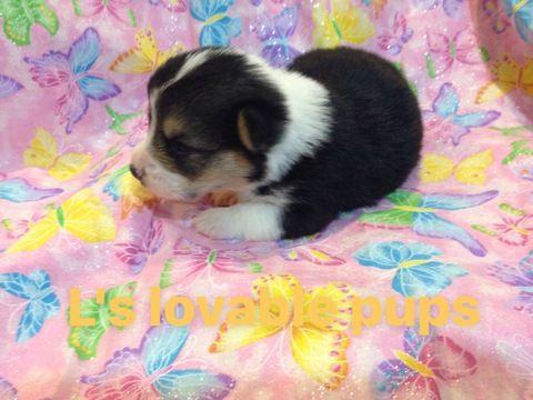 Pembroke Welsh Corgi Puppy For Sale In Asheboro Nc Adn 63091 On