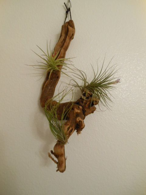 air plant found at home depot for 10 for the home. Black Bedroom Furniture Sets. Home Design Ideas