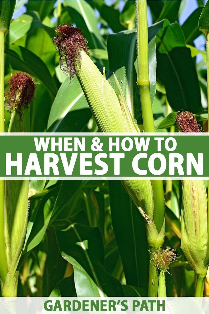 38++ When is sweet corn ready to harvest information