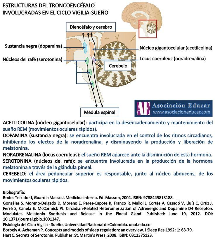 Infografía Neurociencias: Estructuras del troncoencéfalo involucradas en el ciclo vigilia-sueño | Asociación Educar