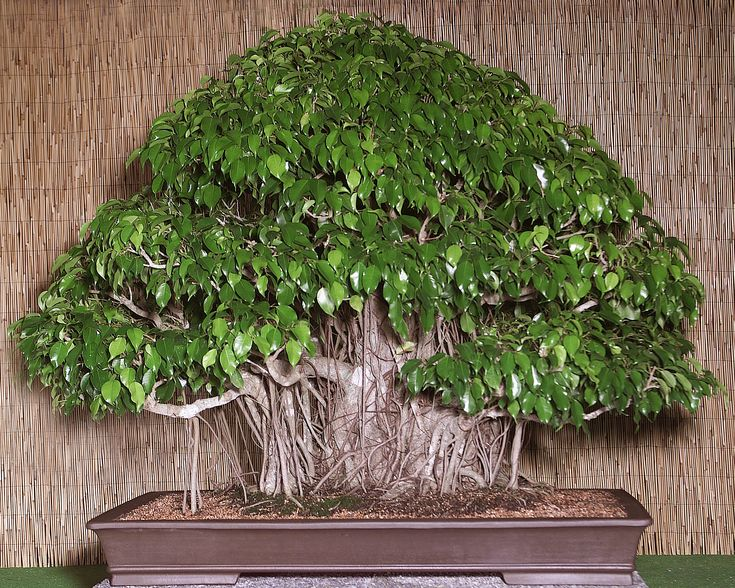 weeping fig tree ficus benjamina bonsai pinterest. Black Bedroom Furniture Sets. Home Design Ideas