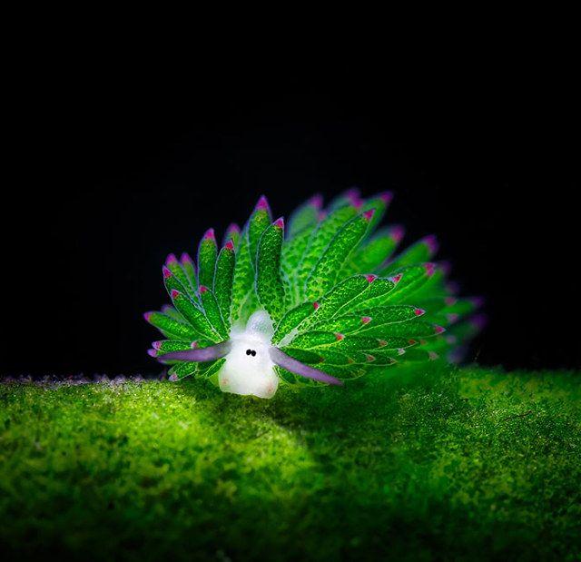 Sheep Sea Slug Photosynthesizes Algae Inside Itself