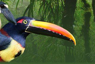 Silky-Flycatchers :Costa Rica Gateway