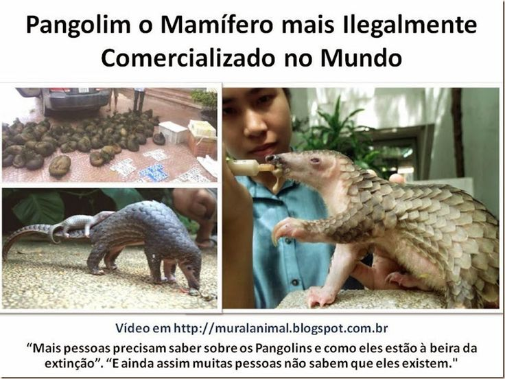 Mural Animal: Pangolim o Mamífero mais Ilegalmente Comercializad...