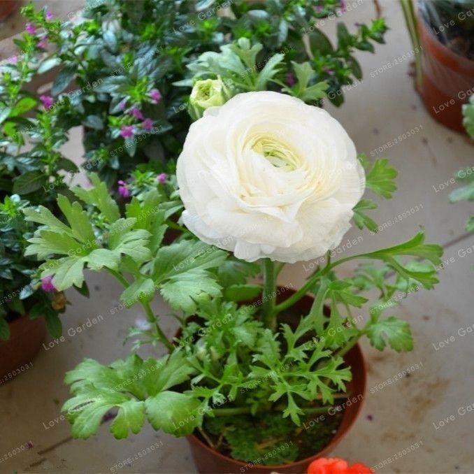 100 Pcs White Ranunculus Seeds Diy Plant Pot Diy Bulb Flowers Flower Garden Plants