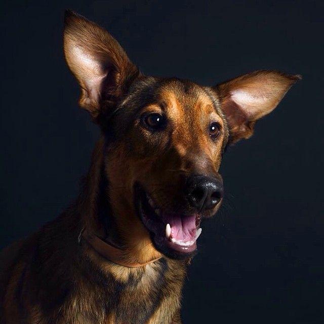 #berger #sheepdog #dogue #dogs #dogfolio #dogportrait #petshelter #dogofinstagram #hasselblad #profoto #dog #dogs #dogmilk #dogfolio #dogstyle #dogsofinstagram #dogstagram #dogoftheday #fourandsons #dogofinstagram #hound #houndfan #houndworthy #delphinecrepin #houndsbazaar #dogmuse #dogsandculturecollide #sheepdog #doglife #petshelteradoption #spa #amiens #dogportrait #dogsofinstaworld #dogphotographer