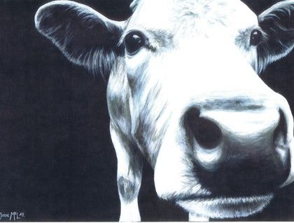 Black and White Curious Cow