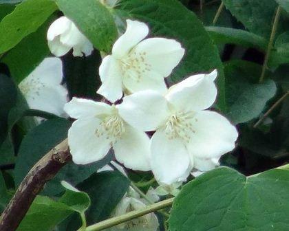 Philadelphus in bloom