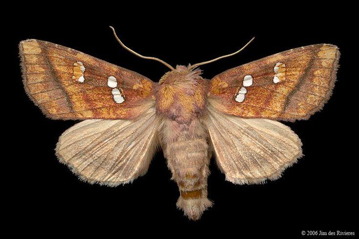 Bracken Borer Moth (Papaipema pterisii) - Lac Bonin, Quebec - September 6, 2006