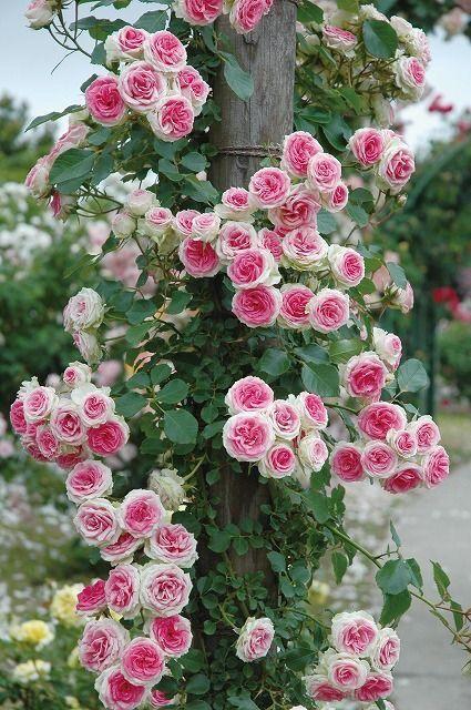 roses, flowers, garden