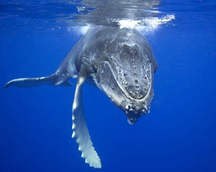 Tengase Presente: 52Hz, La ballena más solitaria del mundo.