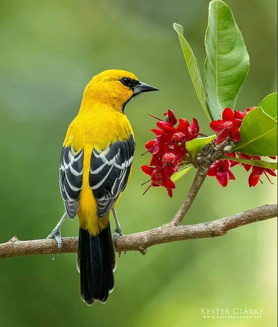 Beautiful Yellow Oriole resting on a branch of a tree!