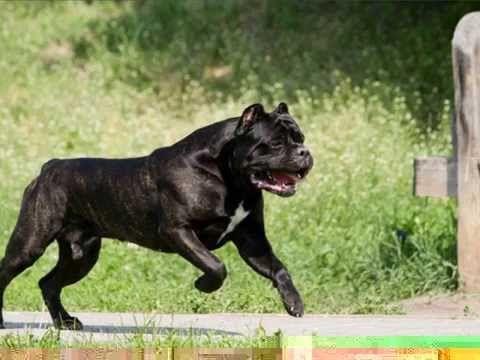 Illegal Dog Breed Canada