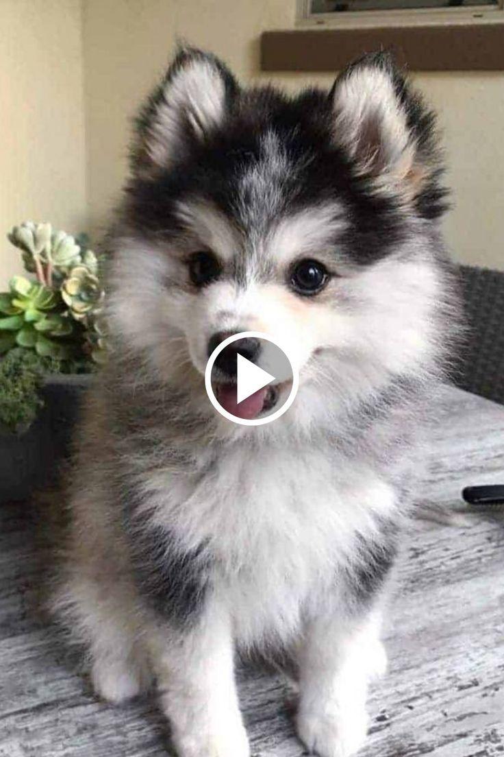 The Cutest Tik Tok Dogs Ever Cute Dogs Tiktok Compilation Cute Dogs Amazing Dog Stories Pomeranian Husky