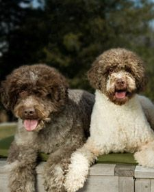 A small to medium-sized breed, the Lagotto Ramagnolo is the only purebred dog in the world recognized as a specialized searcher of truffles.