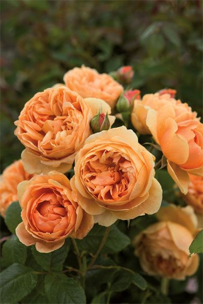 Rosa Carolyn Knight ('Austurner') - This beautiful David Austin rose has pink-flushed, apricot coloured buds, which open to large, fully double, rich gold blooms.