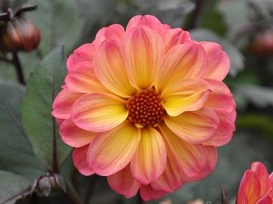 Dreamy Fantasy:  Dahlia 'Dreamy Fantasy' har utroligt flotte store halvfyldte blomster, ca. 6-7 cm i diameter. Farven er meget varm og elegant, men næsten umulig at beskrive, med flere farvetoner fra ferskengul til laksrosa. Plantens højde x bredde: ca. 35 cm x 35 cm.  Blomstrer fra juni til oktober.