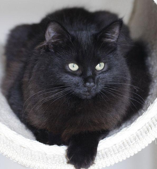 Black cat  Shangri La