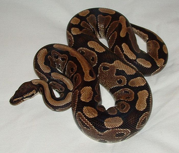 Best 25+ Python snake ideas only on Pinterest | Snakes, Snake and Beautiful snakes