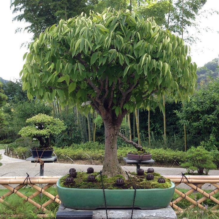 My favorite zelkova bonsai at TakaoKomaginoTeien. #zelkova #bonsai #japan #高尾駒木野庭園
