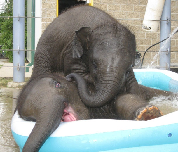 ~Pools Time, Swimming Pools, Baby Elephant, Happy Elephant, Pools Parties, Funny Animal, Kiddie Pools, Bath Time, Cutest Animal