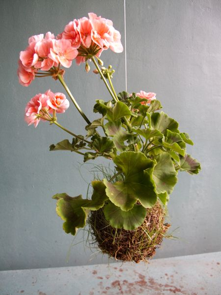 Our Recommendations  This is an artistic method of plant   display, classed as floral art and is not  for long term display.  We recommend your String Plant is   planted out into a pot or garden after 2  to 3 months or earlier if the plant starts   to look stressed.