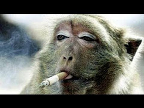 Laughing with Monkeys - Funny Monkey Videos Compilation 2017