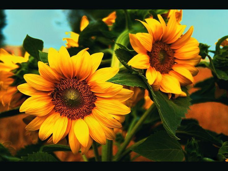 Pictures on your Mobile - Sunflowers: http://wallpapic.com/nature/sunflowers/wallpaper-10433