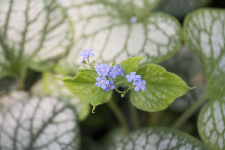 Jack Frost Brunnera is a perfect fit for your shade garden. Blooming in mid to late spring with beautiful baby blue forget-me-not flowers. For more details on this variety, click on the photo or visit us at: http://www.sheridannurseries.com/products_and_services/product_selection/sheridan_garden_classics/shade_garden