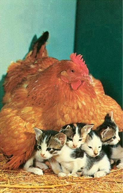 .Just a hen keeping some kittens warm <3
