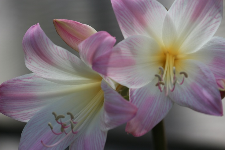 naked lady flower