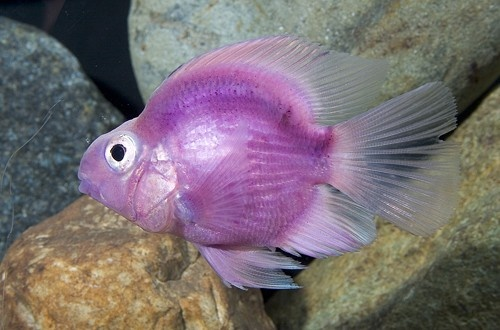 Purple parrot fish my aquarium more pinterest fish for Parrot fish freshwater
