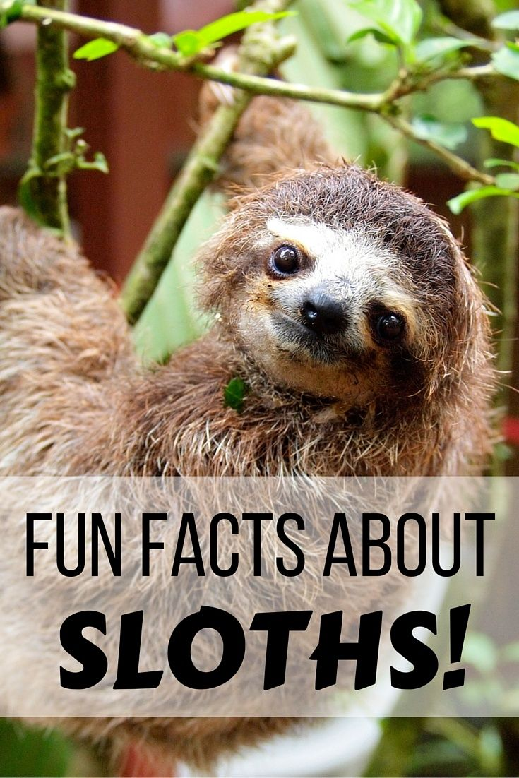 Fun facts about sloths in Costa Rica
