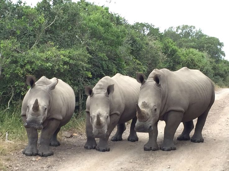 While out on a game drive at Sibuya Game Reserve you may get up close to Rhino's who are members of the Big 5  www.sibuya.co.za