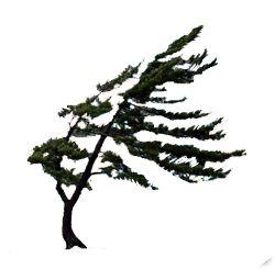 Lone Pine of Georgian Bay