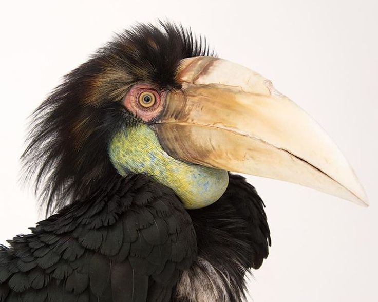 Beauty in nature.. The wreathed hornbill