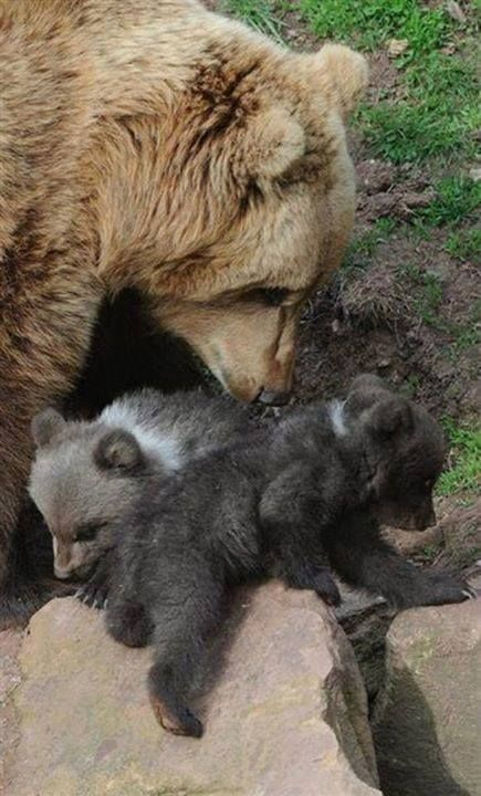 Bear momma with cubs