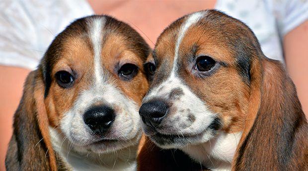 Nacen los primeros cachorros de laboratorio | Mascotas