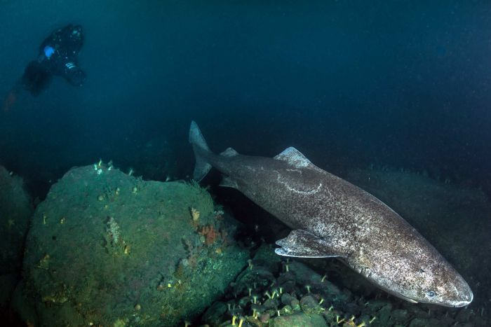 Greenland Shark swimming over a reef  HE COULD REACH  A  LIFE SPAN OF 400 YEARS!