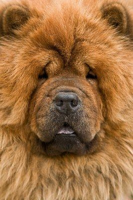 portrait de chien Chow-Chow fermer Banque d'images Dog Puppy Hound Dogs Hunting Puppies